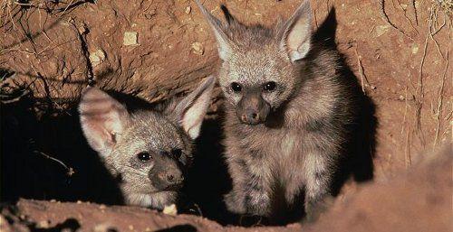 Земляной волк (лат. Proteles cristatus) — африканское млекопитающее из семейства гиеновых. Традиционное название этого вида на африкаанс aardwolf в переводе означает «земляной волк» и отражает его привычку обитать в норах.