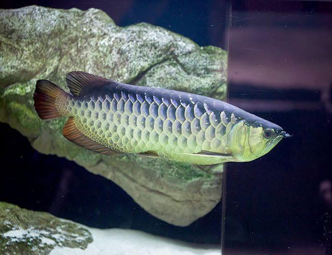 Arowana for sale. Silver Strawberry Arowana, Blueberry Arowana and more! Find out why thousands of f… in 2020 | Aquarium fish, Freshwater aquarium fish, Freshwater aquarium