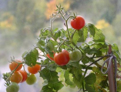 Как выращивание помидоров на балконе осуществить