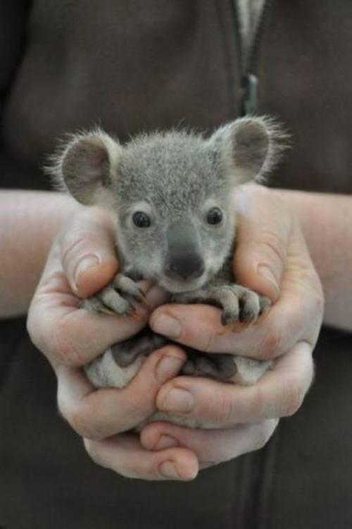 Koala babe :)