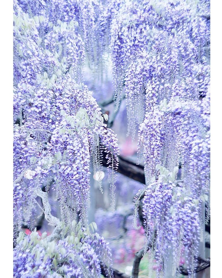 Beautiful Wisteria by another_blue_sky on Instagram