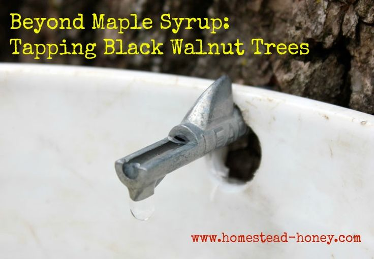 Did you know that trees in your backyard, such as Black Walnut, birch, box elder, and hickory can ALSO be tapped to make syrup?  Here's how we made Black Walnut Syrup.