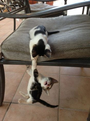 """These Kittens Reenacting """"The Lion King"""" Is The Cutest Thing Ever...long live the king!!! Hahaha."""