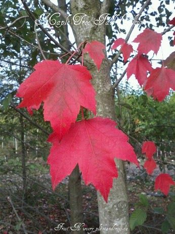 Maple Tree Acer rubrum Frost Nursery Fraser Valley & Metro Vancouver