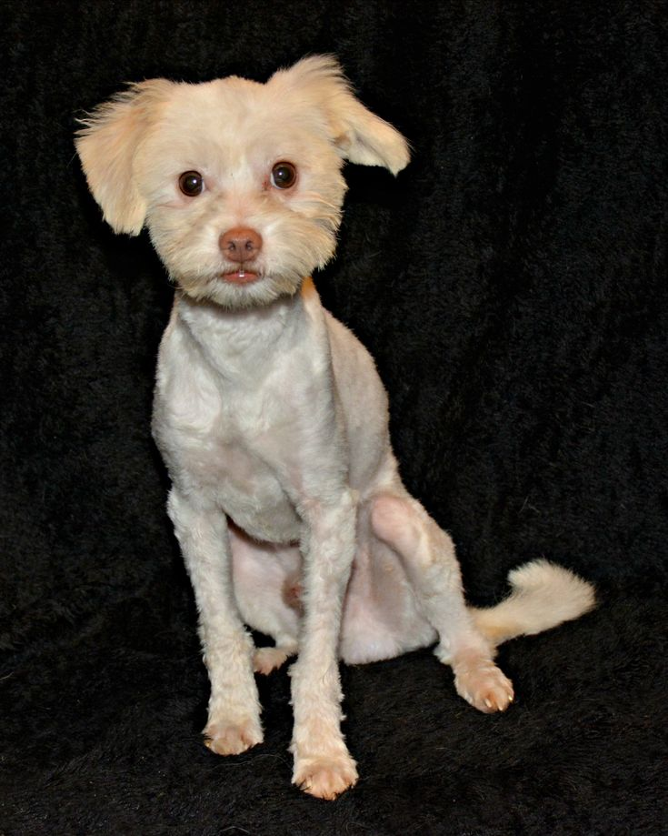 Maltipoo Dog For Adoption In Abilene Tx Adn 668584 On