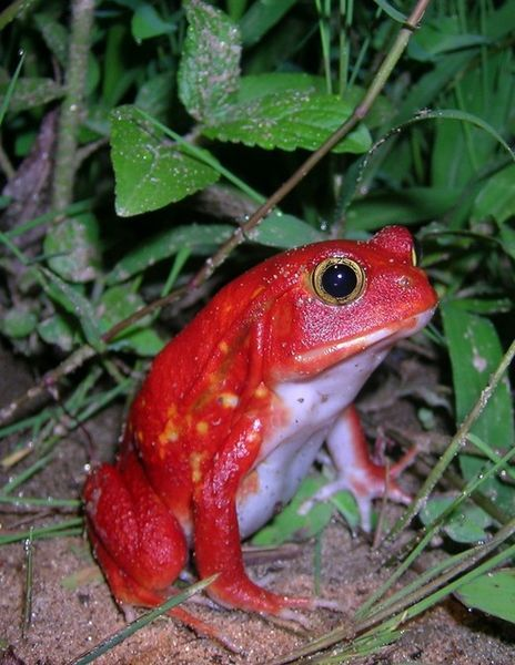 Tomato Frog from Madagascar