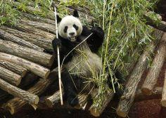 Huan Huan, la femelle panda du zoo de Beauval est enceinte de jumeaux