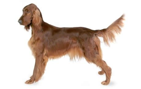 Irish Setter information including pictures, training, behavior, and care of Irish Setters and dog breed mixes.
