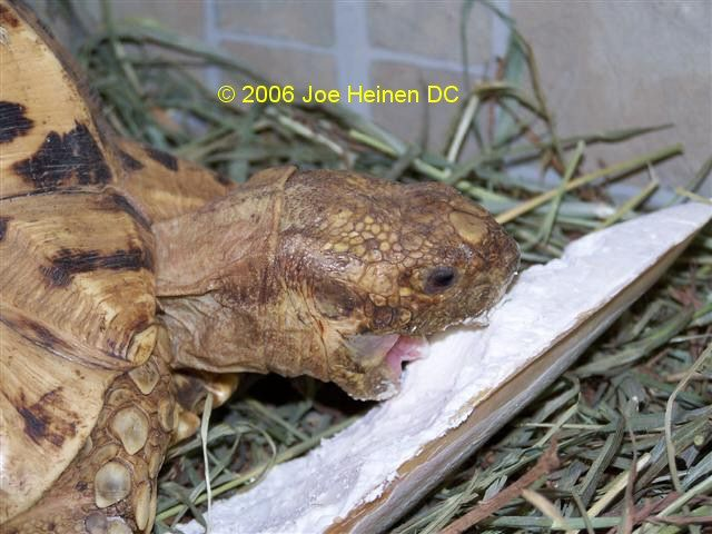 Pyramiding in Leopard Tortoises