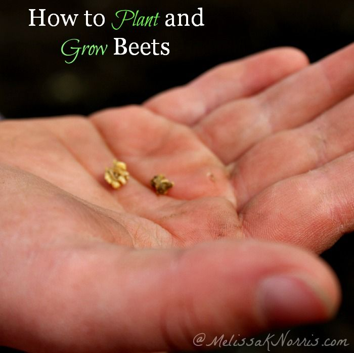 How to plant and grow beets, soil type, planting tips, and why your beets won't grow if you don't do this crucial step Hint: pay attention to tip #5