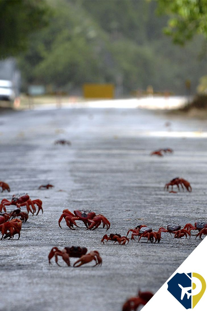 Cada año, en las islas Navidad (Christmas island), Australia, ocurre un fenómeno ligado al ciclo de reproducción de los cangrejos rojos, que altera por completo el tráfico (y la vida) del lugar. Hacia octubre y noviembre, millones de cangrejos rojos abandonan los bosques y lagos naturales en que viven, para emigrar hacia el mar a reproducirse y desovar, en un proceso que se conoce como la migración del cangrejo rojo.