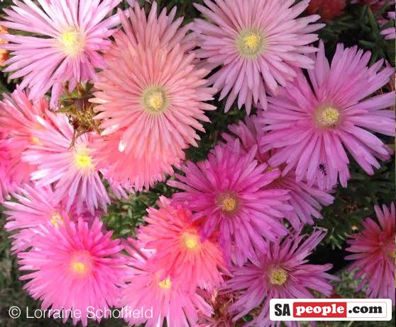 Mesembryanthemums or Vygies, South Africa