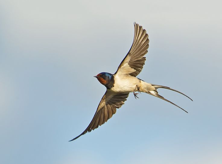 33 best images about swallows on Pinterest | Wild birds ...