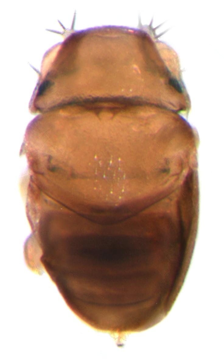 La mosca más pequeña del mundo  Se ha descubierto una nueva especie de mosca en el Parque Nacional Kaeng Krachan (Tailandia) que tiene únicamente 0,4 milímetros de longitud; tamaño unas quince veces menor que las moscas domésticas (Musca domestica).  Es tan pequeña como un grano de pimienta o sal.