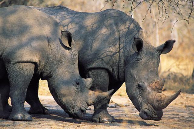 Africa's Big 5 Facts and Information: African Rhino (Diceros bicornis & Ceratotherium simum)
