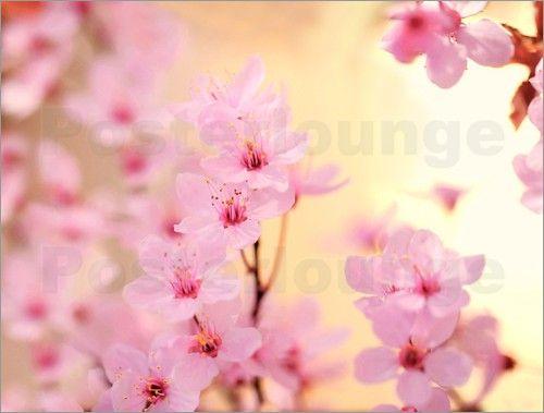 Poster Kirschblüten