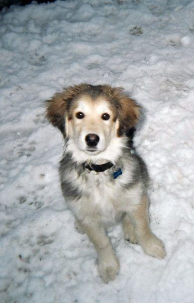 A Golden Retriever Husky Mix Aww Dogs Dogs Husky Mix Puppies