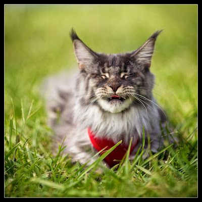 Maine Coon, funny faced furry tails. Maine coon Stalone being funny