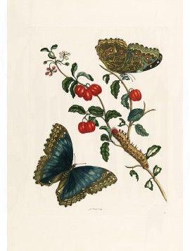 Merian 13 Morpho Achilles & Cherries