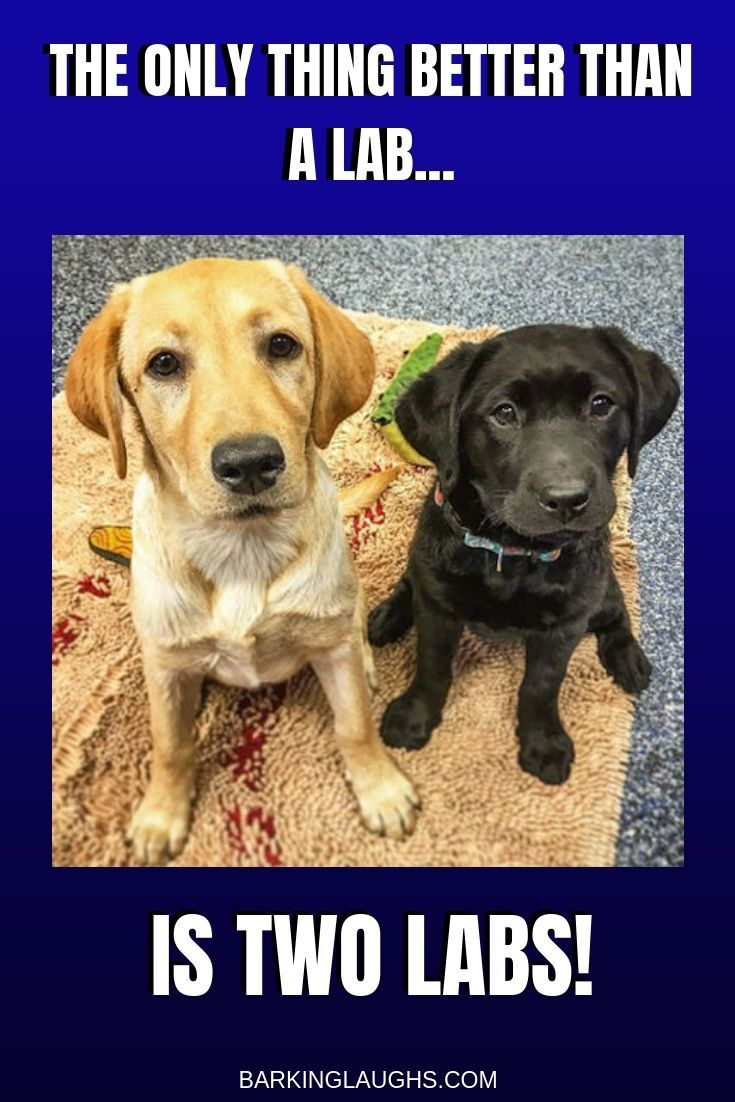 Fall In Labrador Love With Pictures Of Lab Puppies Black Chocolate And Yellow Labs Labrador Puppy Lab Puppies Labrador Retriever Puppies