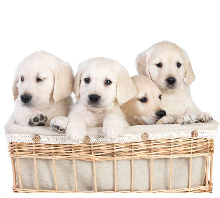 Labrador Breeders – How to Find The Good Ones!http://www.labradortraininghq.com/labrador-puppies/labrador-breeders-find-a-good-one/