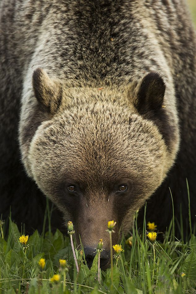 Inland Grizzly Bears wake from hibernation very hungry and immediately begin to eat large quantities of grasses and plants, which make up the majority of their diet. One of their favorite treats is the Dandelion plant.