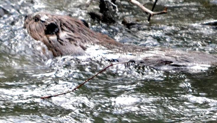 Beaver swimming in a stream