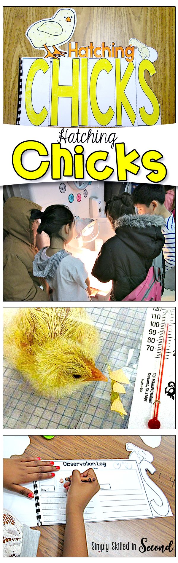 Hatching chicks in the classroom is an incredible experience for children. Check out this post for some fun activities and videos to share with your students.
