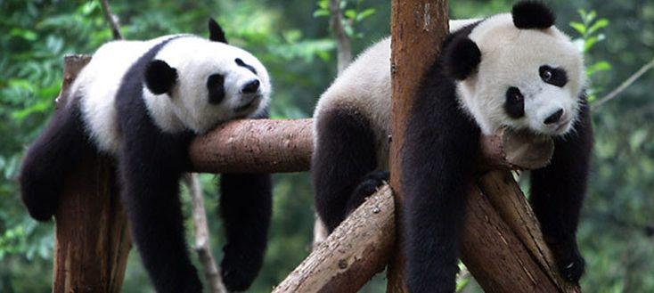 Características del oso panda, símbolo de China - http://www.absolut-china.com/caracteristicas-del-oso-panda-simbolo-de-china/