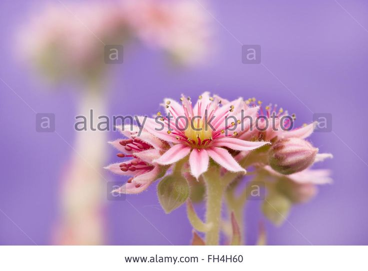 Flower Sempervivum Arachnoideum Rock Plant Close-up Stock Photo, Picture And Royalty Free Image. Pic. 96602296