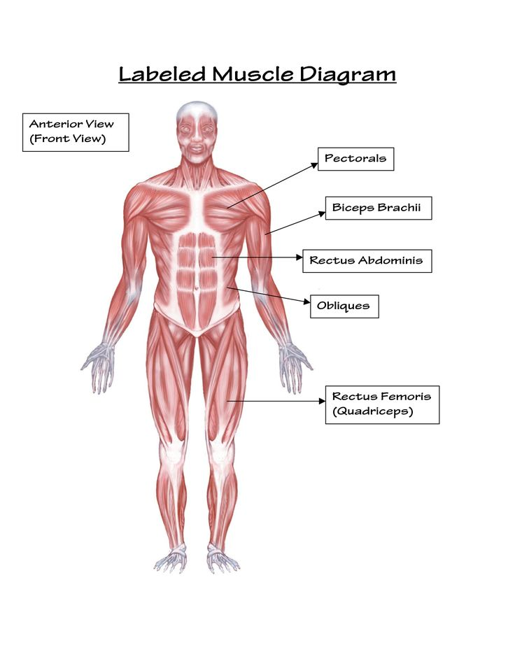simple labeled muscle diagram human body | diagram | pinterest, Muscles