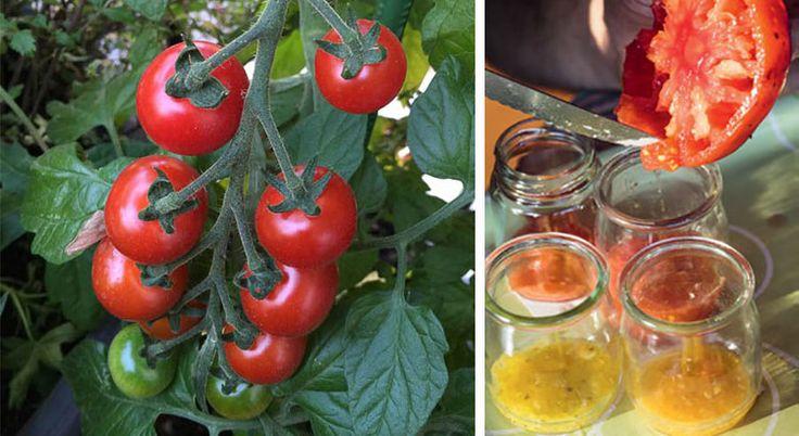 Récolter les graines de tomates