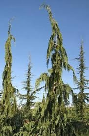 70 Best Images About Weeping Evergreen Trees On Pinterest