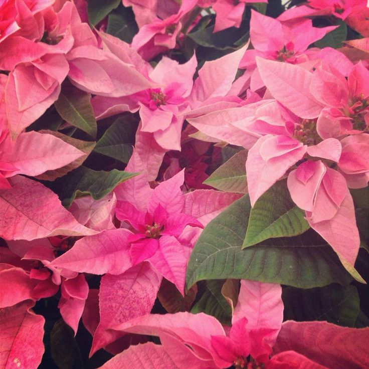 Flor de Pascua o Poinsettia Rosa | Bourguignon Floristas #pink #decorations #christmas #traditions