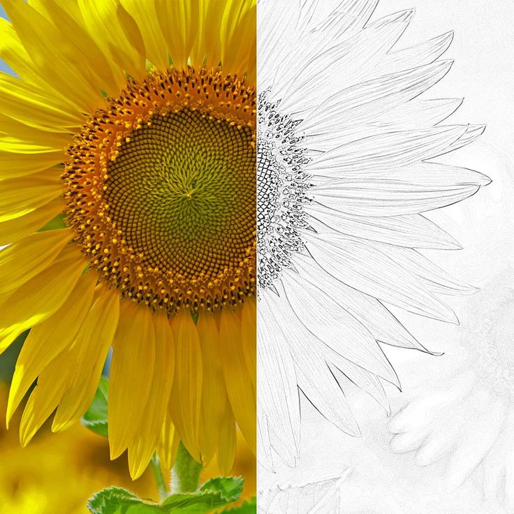 Turn photos into sketches: this before-and-after shows Edge Sketch used on an image of a sunflower.