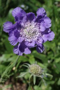 La scabieuse colombaire (S. columbaria) qui pousse à l'état sauvage dans les pâturages de moyenne montagne se reconnaît à son feuillage finement découpé gris argent très décoratif qui forme un petit coussin dense. Floraison très longue, du printemps jusqu'aux gelées.    Variétés : 'Pink Mist ', 40cm, fleurs rose, 'Butterfly' Blue', 40 cm  fleurs bleues. En version basse :  'Pink Buttons' et  'Blue  Buttons' qui ne dépassent pas 20 cm.
