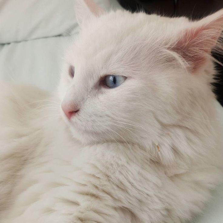 Ankara kedisi Marmen  #cat #kitty #pet #angoracat