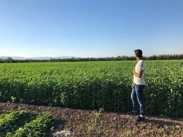 من الاشياء الجميلة اللي عملتها اليوم زيارة لمزرعة ملوخية الملوخية من اكلاتي المفضلة بس عمري ما شفت كيف يتم تلقيطها وكانت تجربة جدا Farmland Outdoor Vineyard