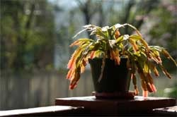Advice for Christmas cactus care