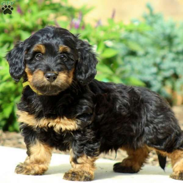 Pongo Goberian Puppy For Sale in Pennsylvania Poodle