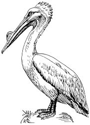pelican by papapishu - This image was donated by Pearson Scott Foresman, an educational publisher, to Wikimedia Commons, and is thereby in the Public Domain. --- See http://commons.wikimedia.org/wiki/Category:Pearson_Scott_Foresman_publisher