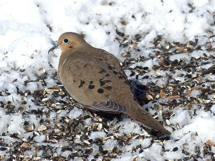 http://faaxaal.forumactif.com/t398-photo-d-oiseau-tourterelle-triste-zenaida-macroura-tourterelle-de-la-caroline-mourning-dove#8380
