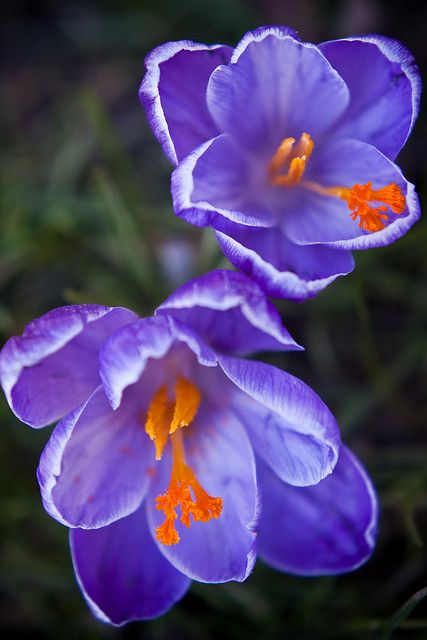 Saffron is the spice derived from the vivid crimson/orange 3 stigmas of Crocus sativus. At about $1,000 lb, an average pound contains about 50,000 flowers...all harvested by hand.