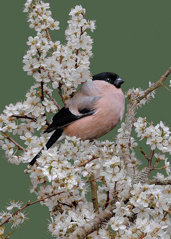 Female Bullfinch In Blackthorn Blosson Pyrrhula Pyrrhula