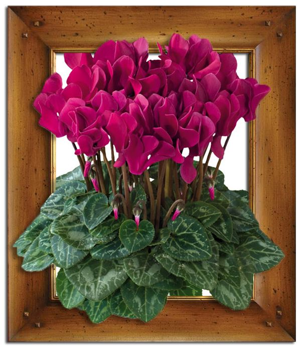 44 best cyclamen images on Pinterest Plants DIY and Cat health