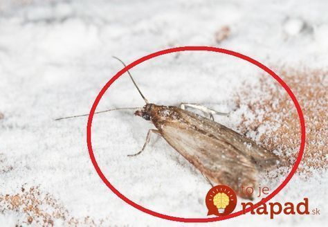 Potravinové mole sú nechcenými podnájomníkmi vnašich domovoch. Tieto živočíchy sa zdržiavajú na miestach, na ktorých majú prístup kpotravinám, najčastejšie vkomorách, regáloch, potravinových skriniach alebo kuchynskej linke. Dokážu spoľahlivo zlikvidovať zásoby potravín tým, že do nich …