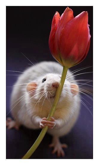 Rat holding a flower.