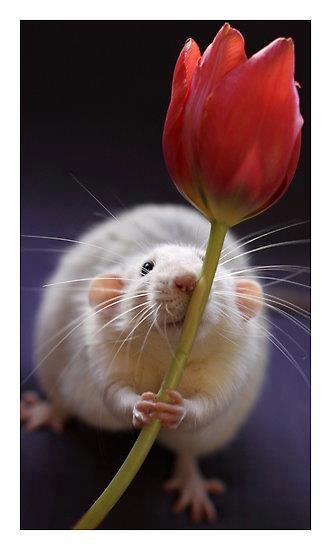 Rat holding a flower.