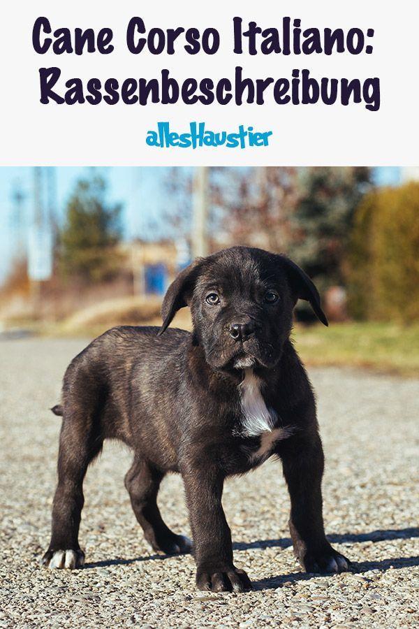 Cane Corso Italiano Eine Detaillierte Rassenbeschreibung Hunde