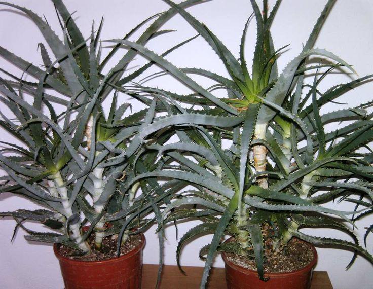 11 best images about plant aloe arborescens on pinterest. Black Bedroom Furniture Sets. Home Design Ideas